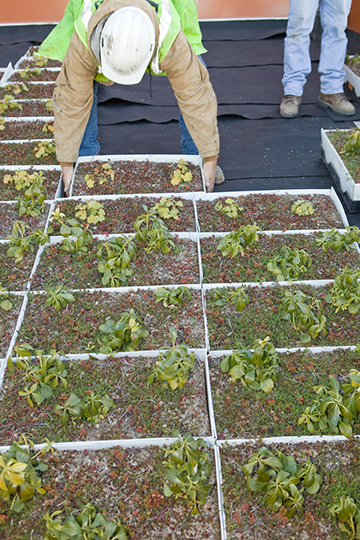 Worker Installing Green Roof Plants
